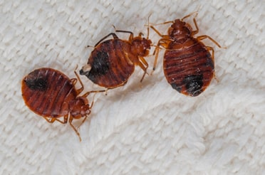 Pest Control for Bed Bugs