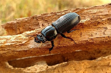 House wood boring beetles control